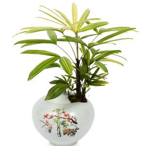 관엽식물(서황금)ft-5010