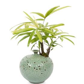 관엽식물(서황금)ft-5012