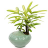 관엽식물(서황금)ft-5009