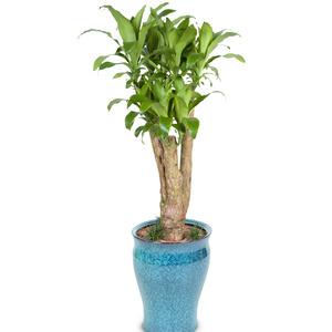 관엽식물(행운목) ft-5004