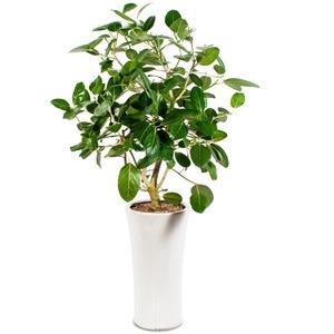관엽식물(뱅갈고무나무) ft5021 (높이 80~100cm)