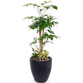 관엽식물(녹보수) ft5028 (높이 80~100cm)