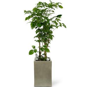 관엽식물(녹보수) ft5016 (높이 90~120cm)