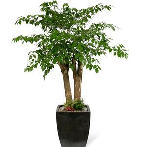 관엽식물(해피트리) ft-5074 (높이 90~100cm)