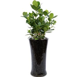 관엽식물(크루시아) ft5014 (높이 80~100cm)