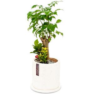 관엽식물(해피트리) ft-5073