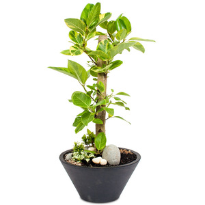 관엽식물(뱅갈고무나무) ft5027 (높이 80~100cm)