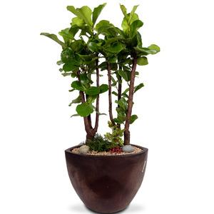 관엽식물(떡갈고무나무) ft5008 (높이 120~150cm)
