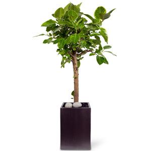 관엽식물(뱅갈고무나무) ft5002 (높이 90~110cm)