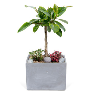 관엽식물(뱅갈고무나무) ft5022
