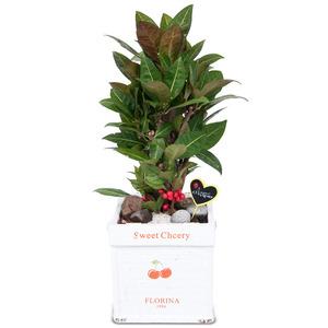 관엽식물(크로톤) ft5041