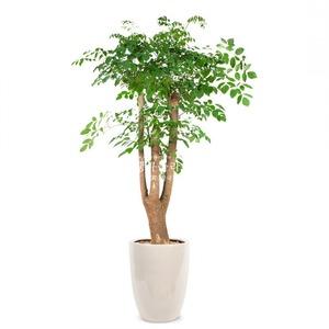 관엽식물(해피트리) ft5001