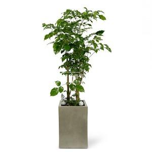 관엽식물(녹보수) ft5034