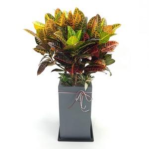 관엽식물(크로톤) ft5051 (높이 80~100cm)