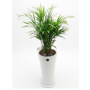 관엽식물(아레카야자) ft5052 (높이 80~100cm)