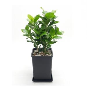 관엽식물(크루시아) ft5053