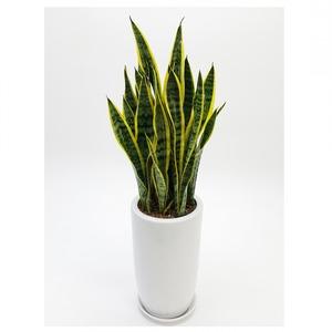 관엽식물(산세베리아) ft5054