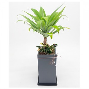 관엽식물(아가베) ft5055 (높이 80~100cm)