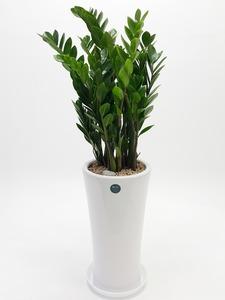 관엽식물(금전수) ft5057