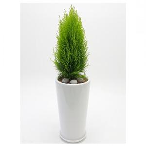 관엽식물(율마) ft5059